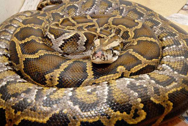 News of the Weird: A litigious drunk and a python with health insurance