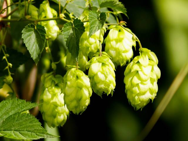 Tap This: One of four key ingredients in beer, hops can complement or shine