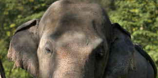 """An elephant named """"Kaavan,"""" who waiting to be transported to a sanctuary in Cambodia, walks at the Maragzar Zoo in Islamabad, Pakistan, Friday, Nov. 27, 2020. Iconic singer and actress Cher was set to visit Pakistan on Friday to celebrate the departure of Kaavan, dubbed the """"world's loneliest elephant,"""" who will soon leave a Pakistani zoo for better conditions after years of lobbying by animal rights groups and activists. (AP Photo/Anjum Naveed)"""